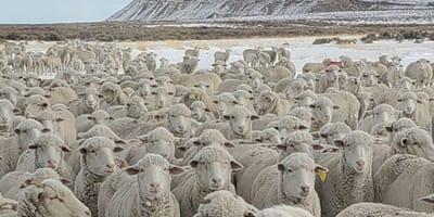 Stado_owiec_Wyoming