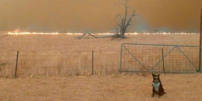 Feuer in Australien rast auf Schäferhund zu. Plötzlich springt er über den Zaun und... (Video)