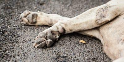 Staupe ist tödlich für Hunde