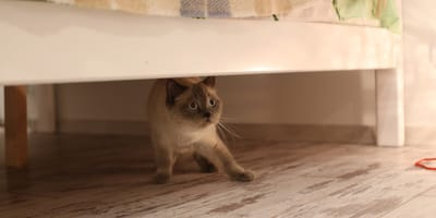 Cat hiding under a bed