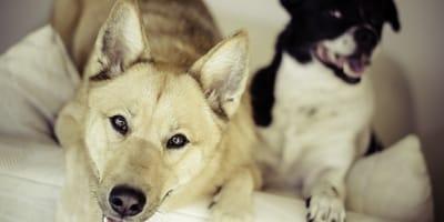 Il comportamento del cane maschio dopo l'accoppiamento