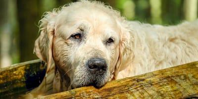 Si può dare il cortisone al cane anziano?