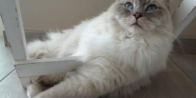 Gatti amichevoli: le razze più docili
