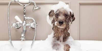Si può fare il bagno al cane se ha l'antipulci?