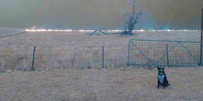 Pożary w Australii. Ogień podchodzi bliżej do psa, który skacze nad płotem i…