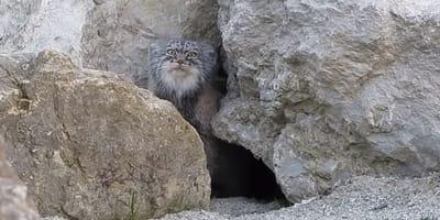 reaccion gato salvaje grabado