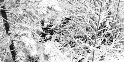 labrador escondido nieve