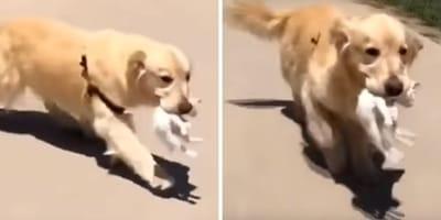 video perro golden retriever salva cachorro gato