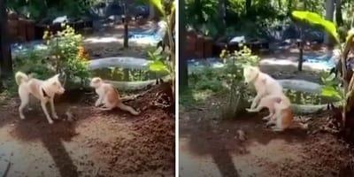 perro bruce lee pilla ataca gato