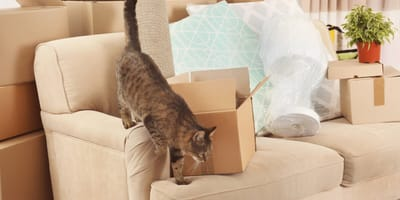 Cat on a sofa with boxes ready for a move