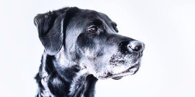 black dog on white backdrop
