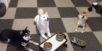 Trzy shiba inu nie mogą doczekać się kolacji. Kiedy tato nakryje do stołu zmieniają się nie do poznania