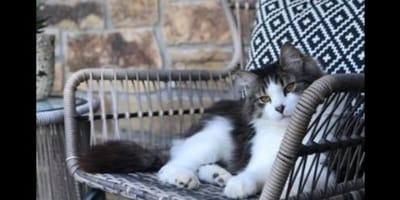 gatto-bianco-e-nero-seduto-su-una-sedia