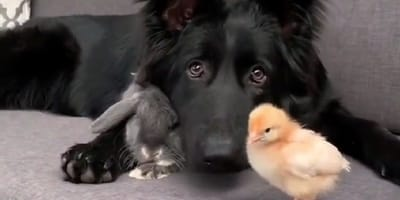 black german shepherd on couch with chick and rabbit