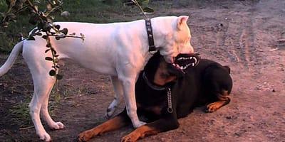 Ein Dogo Argentino und ein Rottweiler