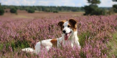 Hund in Heidekraut-Feld
