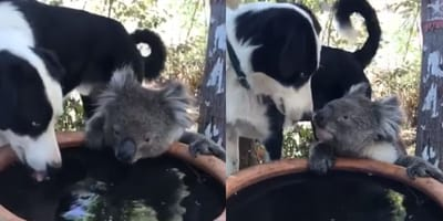 Watch: Border Collie leads thirsty koala to drinking water