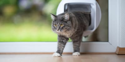 Grey cat using a cat flap