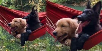 Golden Retriever und Schäferhund in Hängematte