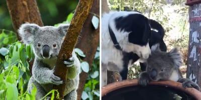 Der Hund freut sich über den Besuch des Koalas