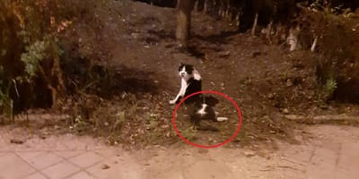 gato disparo bala medula granada
