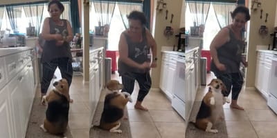 beagle dancing with owner
