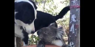 Pies_i_koala_pija_wode_razem