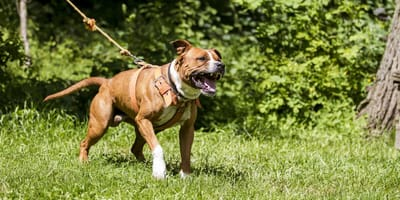 Agressiver Staffordshire Terrier
