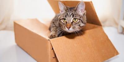 gatto-in-uno-scatolo