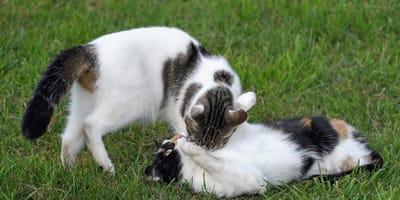 Jak skutczenie pomóc kotce w rui?