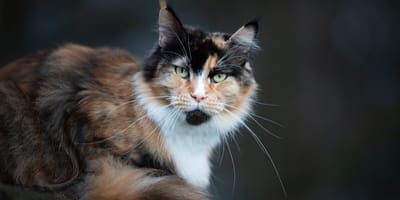 Schildpatt Katze