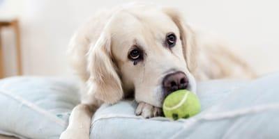 Nowotwór śledziony u psa: rokowania i leczenie
