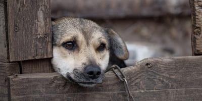 pies-na-łańcuchu