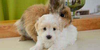 cane-e-coniglio