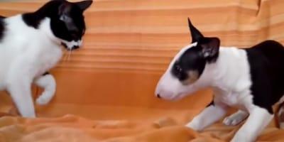 video gato pelea cachorro bull terrier