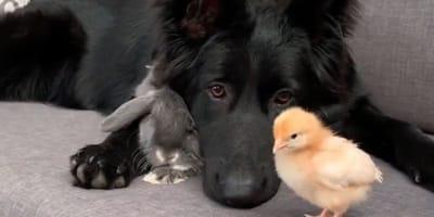 Pies_kurczak_krolik_razem