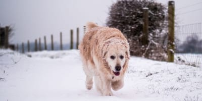 cane-golden-nella-neve