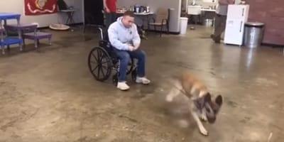 Owczarek belgijski chce zostać psem opiekunem, ale ma trudność by okiełznać swój temperament (VIDEO)