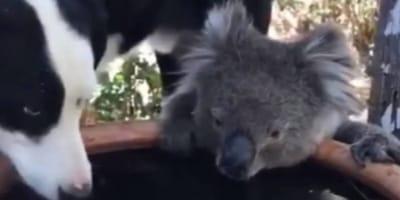 perro y koala comparten agua en australia