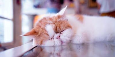 razas gato cara chata