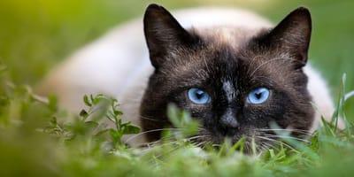 Gatto-in-posizione-di-caccia