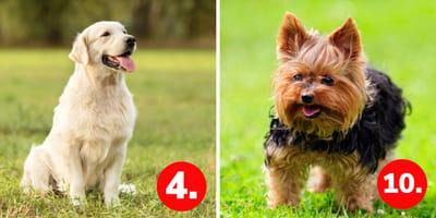Deutschland im Hundefieber: Das sind die 10 beliebtesten Rassen