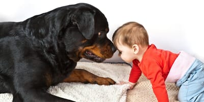 razas de perros peligrosos para adoptar