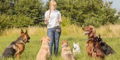 Animal behaviourist with dogs