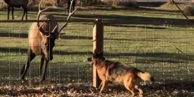 Dog playing with elk