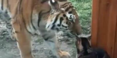 tigre-e-gatto-dietro-vetro