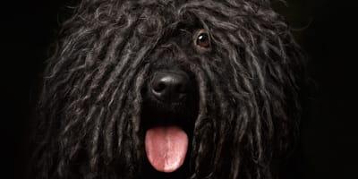 Las razas de perro de pelo negro azabache más bonitas del mundo