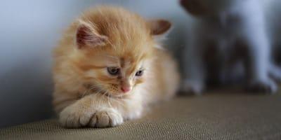 Coronavirus del gatto: tutte le forme in cui si manifesta