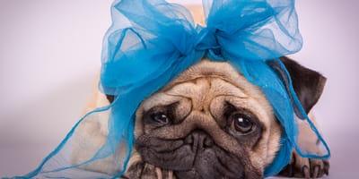 cachorro llora sin parar