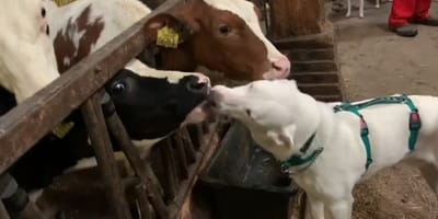 perro sordo besos vacas